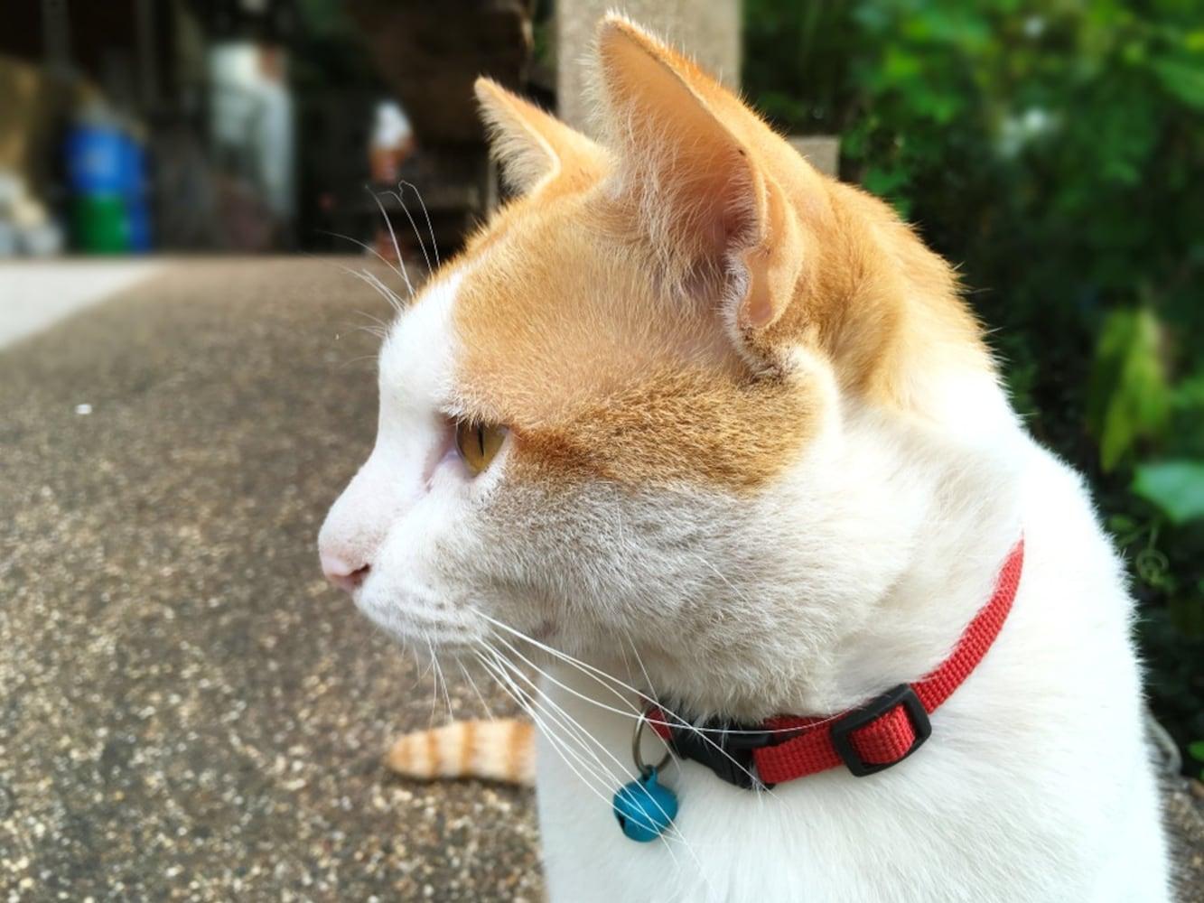 首輪をつけた猫
