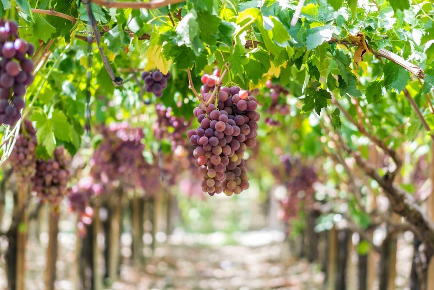 シチリアのブドウ栽培