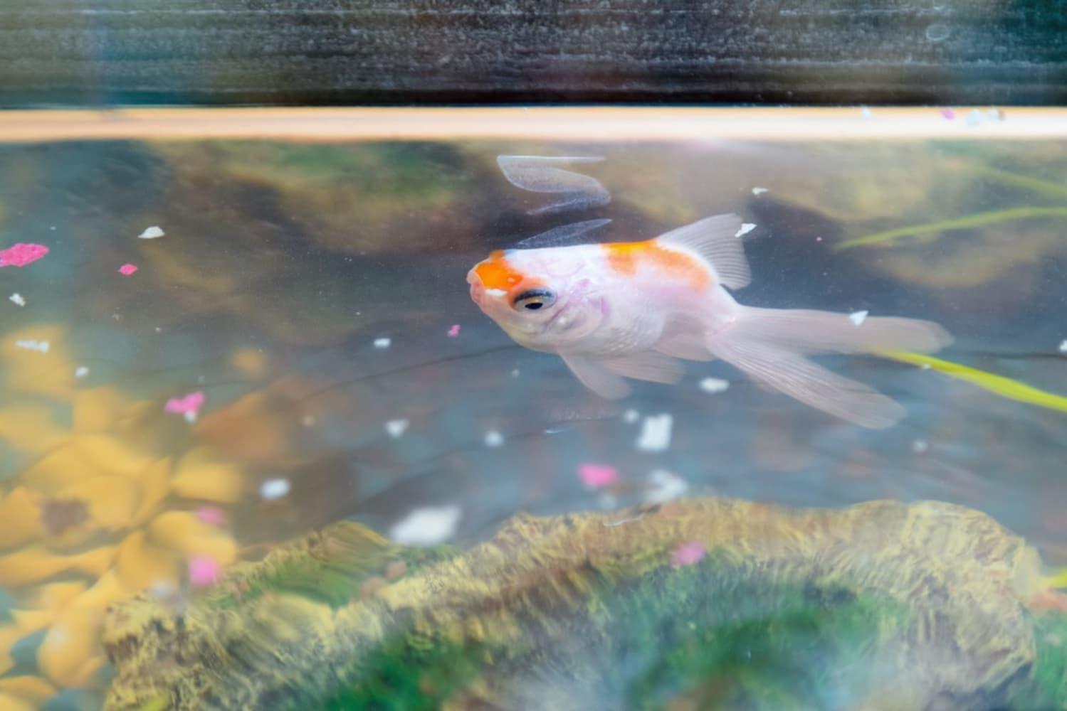 フレークタイプ|柔らかいので、小さな金魚でも食べやすい
