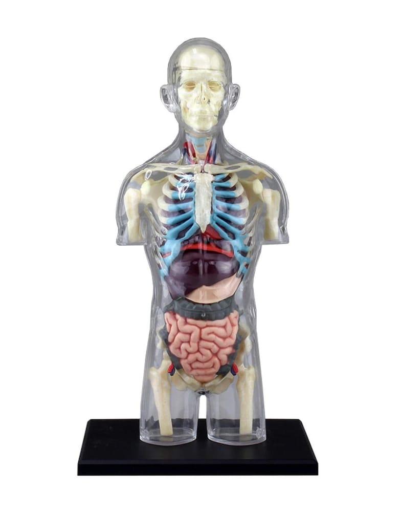 全身内臓タイプ|臓器の位置を再現!解剖学を学ぶ方に