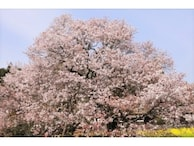 日本三大桜・五大桜はどこにある?一度は見たい桜名所