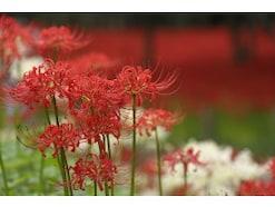 「彼岸花・曼珠沙華」の意味や読み方・別名、花言葉や不思議な特徴