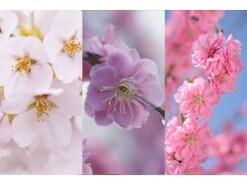 「桜・桃・梅」違いがもう混乱しない!見分け方・開花時期・花言葉