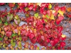 蔦紅葉(つたもみじ)の紅葉するツタと常緑のツタ、何が違う?