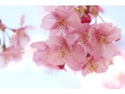 桜の豆知識・雑学!お花見の由来・桜の種類や見分け方の基礎知識
