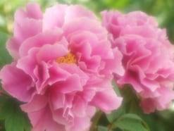 「立てば芍薬、座れば牡丹、歩く姿は百合の花」に隠された美人の本質