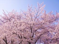 2020年 桜の開花予想と桜前線!予想開花日・満開日はいつ?