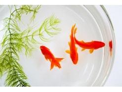 金魚の寿命は何年?平均は?金魚すくいの金魚の寿命はどれくらい?