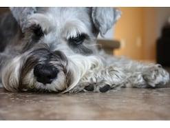 犬の毛玉の取り方・予防法 ポイントを押さえて愛犬の皮膚を守ろう!
