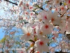 桜の撮影術、3つのポイントで簡単ステップアップ