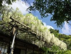 ゴールデンウィークと5月の鎌倉の見所【2017年版】