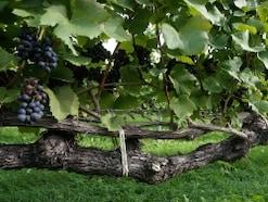 赤ワイン等のブドウの品種……産地と特徴