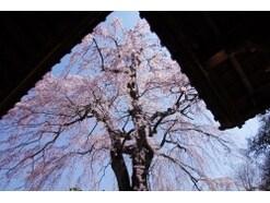 川越の桜名所5選!小江戸で楽しむお花見スポット2019