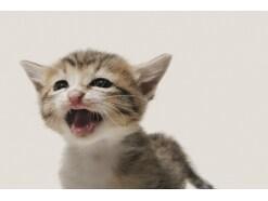 よく鳴く猫と鳴かない猫 それぞれの違い、理由は?