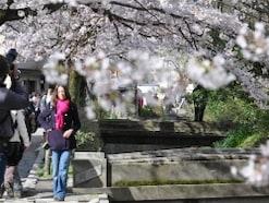 2018年京都の桜散歩に!東山エリアの桜の名所7選