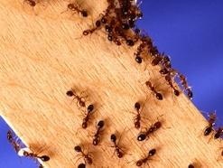 【ヒアリ画像も】ヒアリに刺されたときの症状・対策法