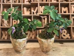 ミニ盆栽の作り方入門編~植物・鉢選びから育て方まで