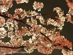 夜桜をきれいに撮る方法、コツをプロがやさしく解説!
