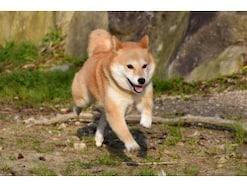 柴犬はどんな犬?歴史や性格・特徴、寿命などを解説