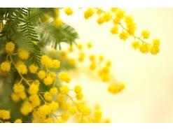 3月8日「ミモザの日」になぜ女性に花を贈る? 実は黄色でなかったミモザの豆知識・花言葉