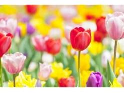 チューリップの花が咲き終わったら?球根類の処理方法