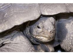 リクガメをペットに! おすすめのリクガメと飼育方法
