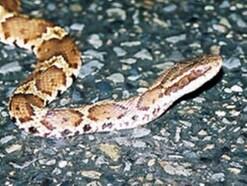 マムシの出産は口から?爬虫類・ヘビの俗説とは