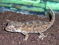 ヘルメットゲッコー!爬虫類・ヤモリの基本情報と飼育方法