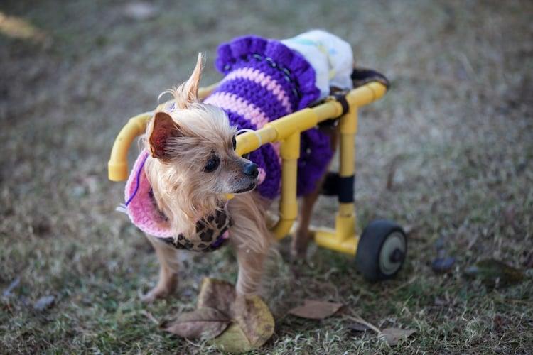 犬用車椅子はごほうびを活用して慣れさせて