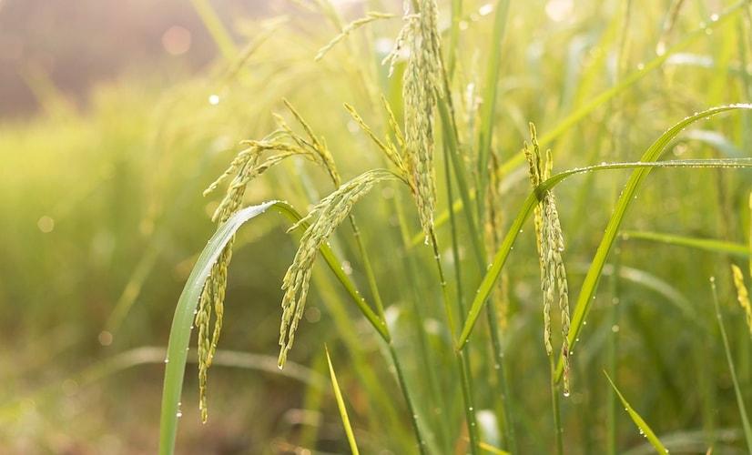 酒米|土台の味となる酒米をチェック
