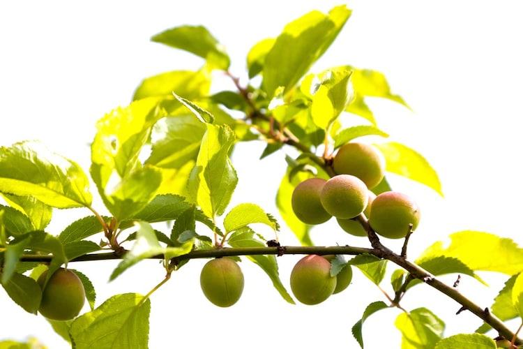 梅の熟度 「通常の梅」と「完熟梅」の2種類が一般的