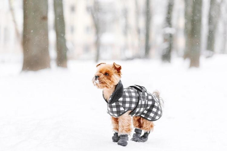 シングルコートや南国原産の犬はしっかりと防寒を