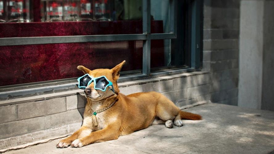 犬用サングラスの必要性