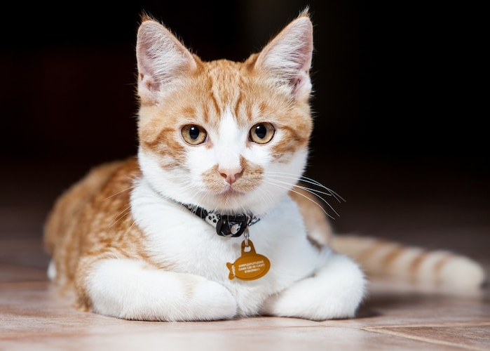 猫用迷子札をつけてくれないときはおもちゃなどで気を逸らして