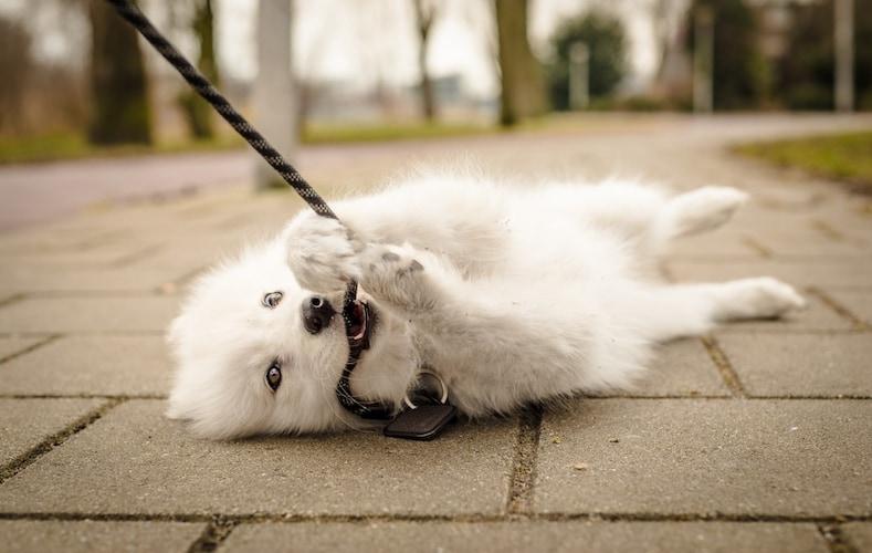 犬がリードを嫌がる・噛む原因は?その対処法もチェック
