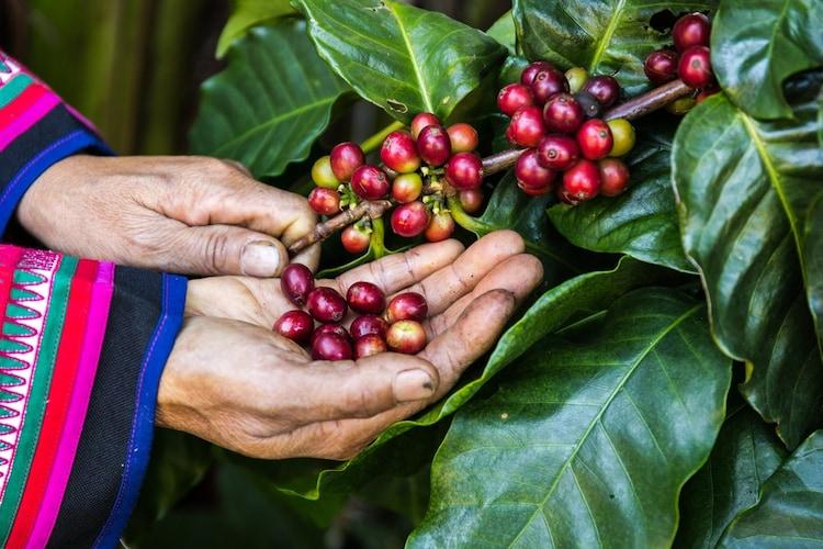 【フェアトレード】オーガニックコーヒーの生産地維持に貢献