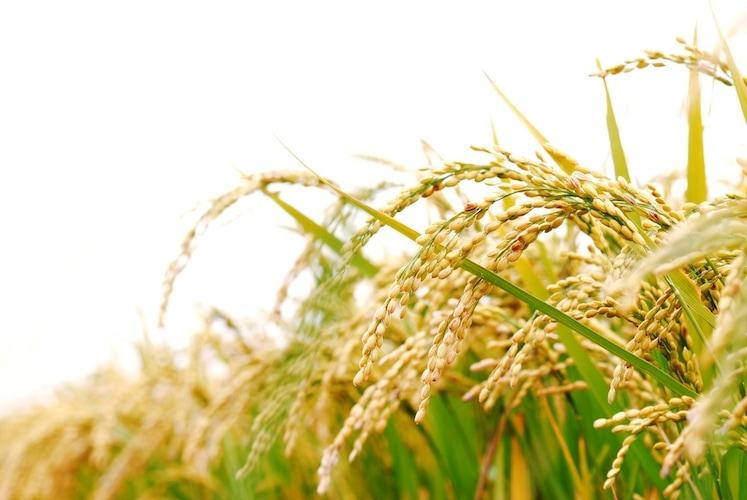 胚芽米|食べやすさ・栄養◎発芽玄米と類似