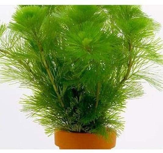 良く育つ水草はトリミングの手間がないものを!