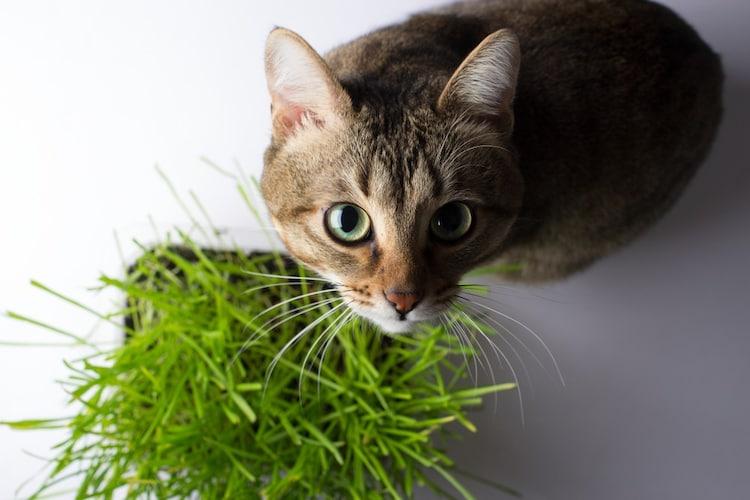 猫草は食べなくても大丈夫?
