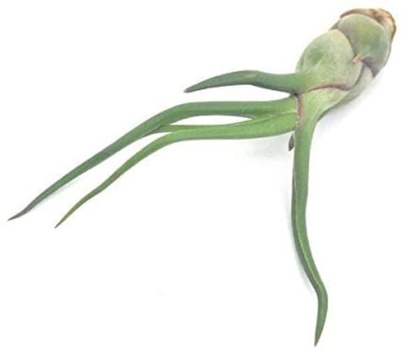 エアプランツ:緑葉種