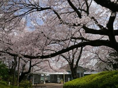 https://imgcp.aacdn.jp/img-a/auto/auto/aa/gm/article/2/4/9/6/4/201702161948/hanami2017_1.jpg