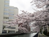 新田間川に覆いかぶさるように咲くサクラが見事