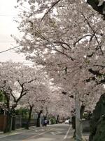 本牧通りから三溪園までサクラ並木が続く、本牧桜道