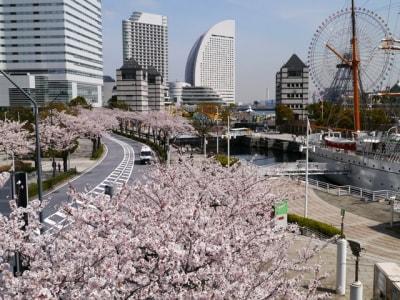 桜木町駅から海に向かって並ぶ、さくら通りの桜並木