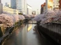 散り始めになると、大岡川の川面までピンク色に!