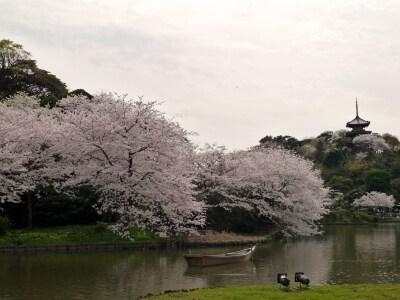 ソメイヨシノを中心にさまざまな花が楽しめる、春の三溪園