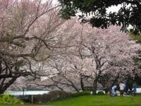 山手公園の広場に咲く、サクラ