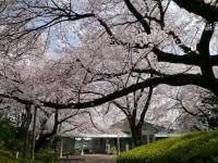 横浜ガイドのお気に入り、山手公園のサクラ。クラブハウスを覆うような枝ぶりが見事