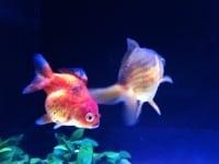 金魚の引っ越し