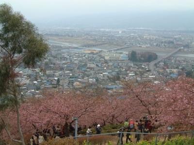 松田・西平畑公園の河津桜(1)